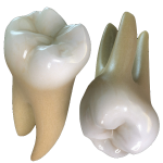 Molar teeth